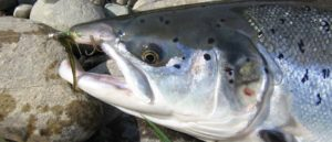 gaula gaulaflyfishing gaulaflyfishinglodge norway flyfishing perhokalastus flugfiske fluefiske salmon lohi laks lax