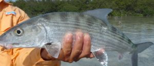kuuba cuba kuba flyfishing flugfiske perhokalastus permit tarpon bonefish perhokalastusmatka saltwaterflyfishing kalastus kalastusmatka fishmaster globalfishing