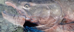 chile riopuelo perhokalastus flyfishing flugfiske chinook kingsalmon kuningaslohi kungslax kalastus kalastusmatka Fishmaster globalfishing