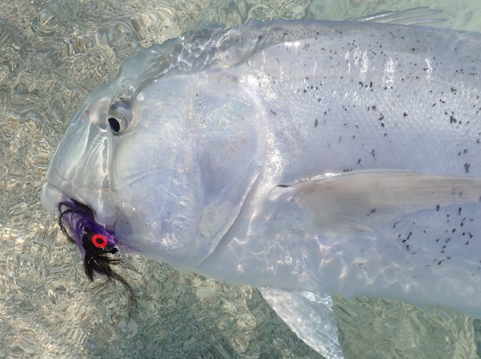malediivit maldiverna maldives gt gianttrevally bluefintrevally yellowspottedtrevally, perhokalastus flyfishing flugfiske fluefiske perhokalastusmatka kalastus kalastusmatka kalastusmatkat fishmaster globalfishing